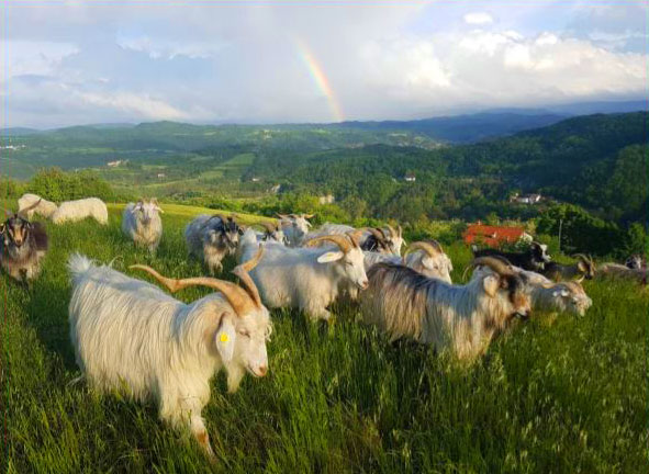Cashmere Goat Association     CGA Mission & History
