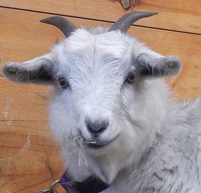 Cashmere Goat Association    North American Cashmere Goat